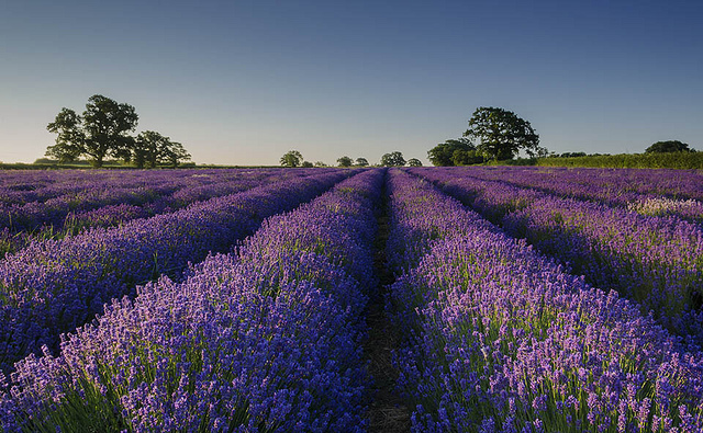lavender by taylorri40