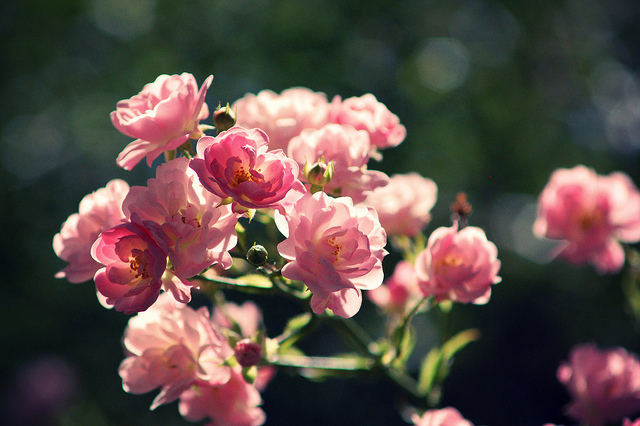 pinkparisflower by Zylenia flickr